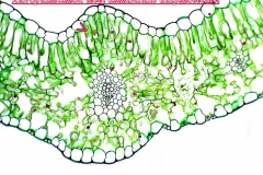 plasztiszok-kloroplasztisz-7