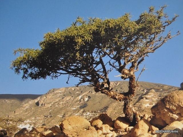 3-commiphora-myrrha-mirrhafa