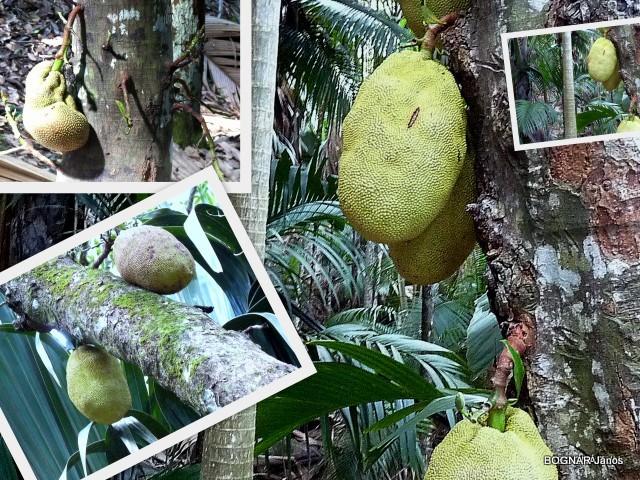 artocarpus-heterophylla