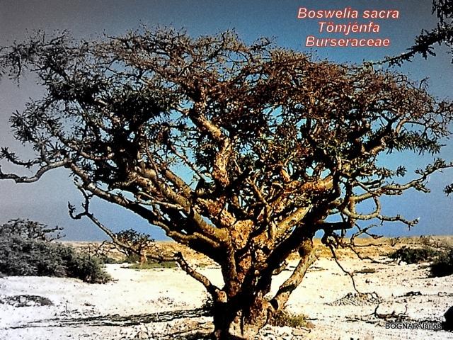 boswelia-sacra