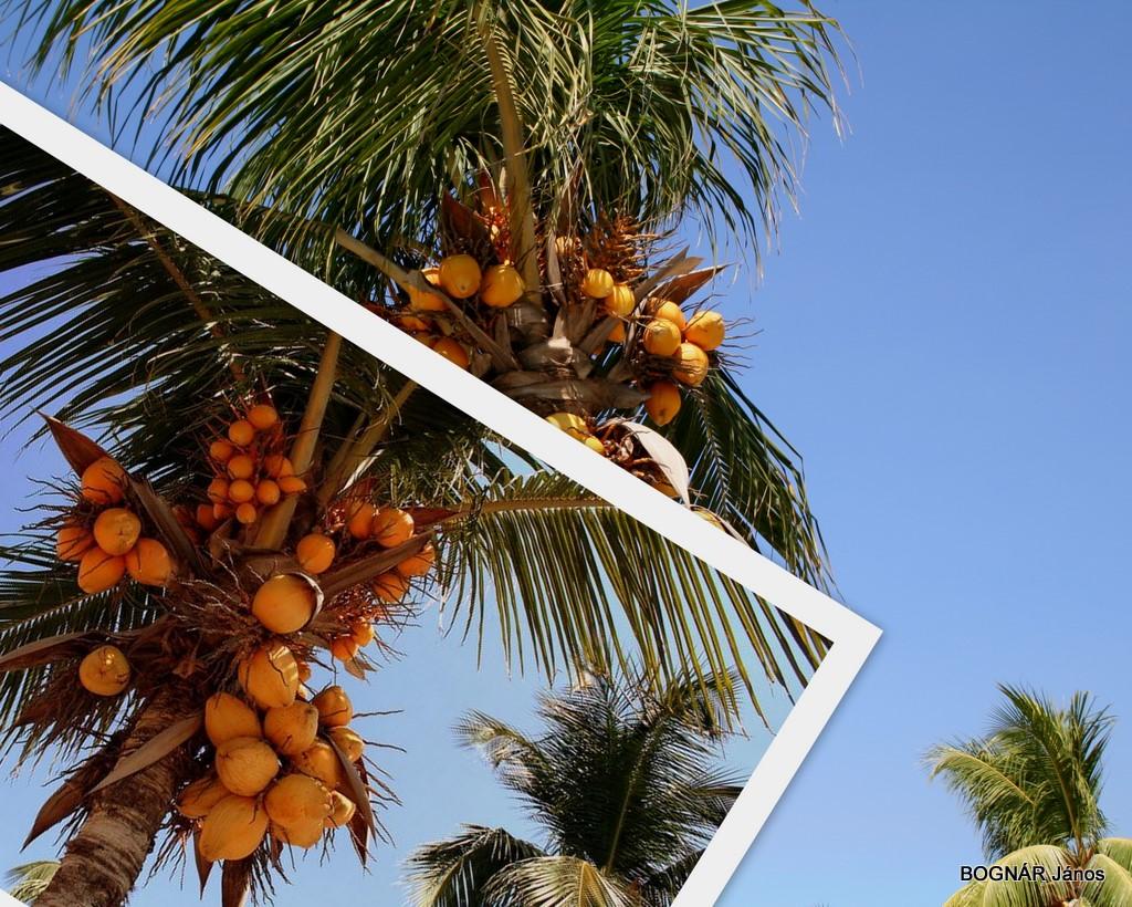cocos-nucifera-3