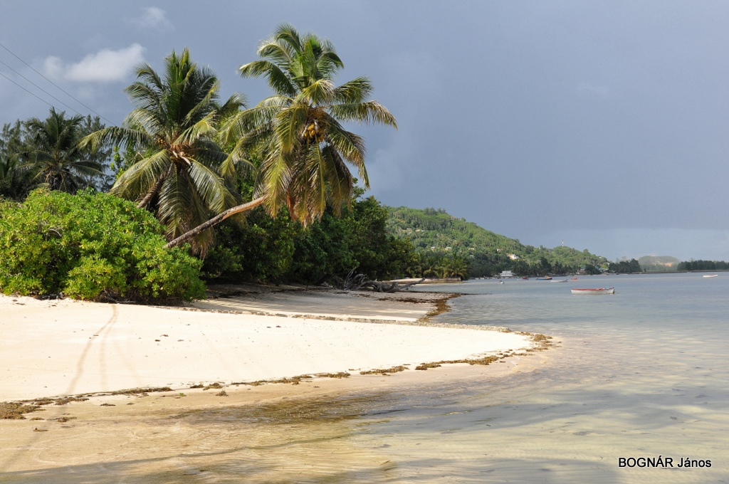 cocos-nucifera
