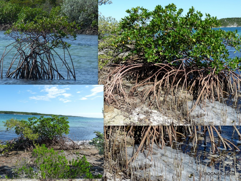 mangrove_0