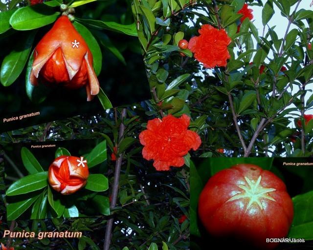 punica-granatum