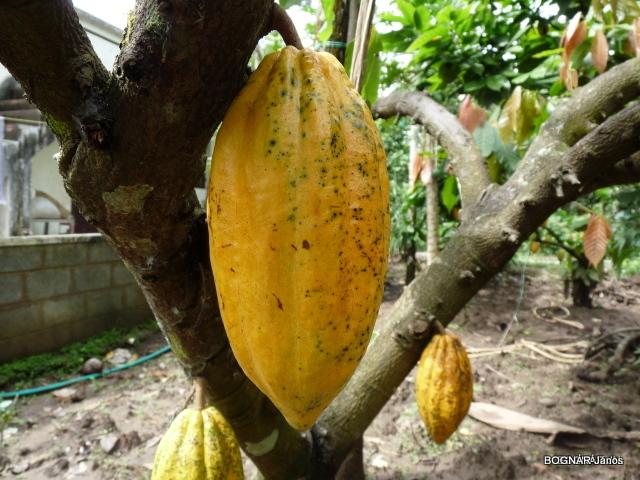 theobroma-cacao-2