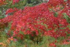 acer-palmatum-var-atropurpurea-1
