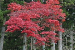 acer-palmatum-var-atropurpurea