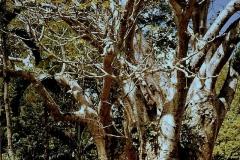 adansonia1