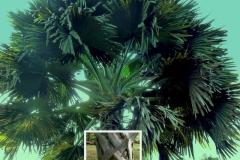 corypha-umbraculifera