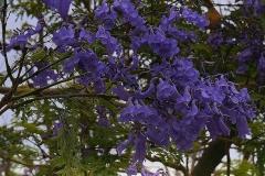 jacaranda-mimosifolia-zsakaranda-fa