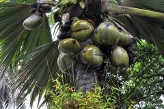 lodoicea-maldivica