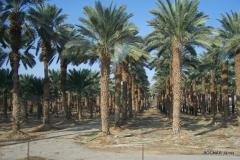 phoenix-palm