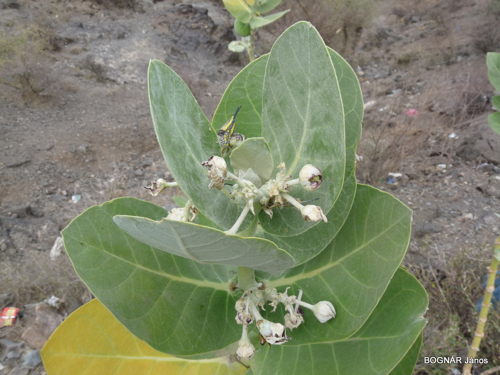calotropis-procera-2