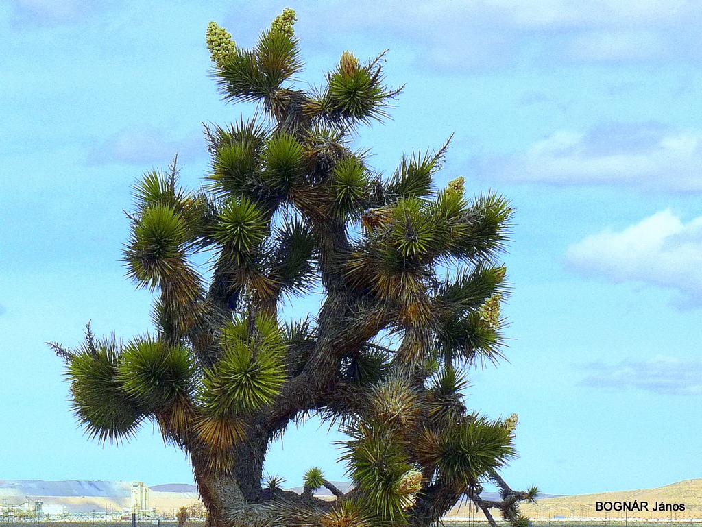joshue-tree-yucca-brevifolia