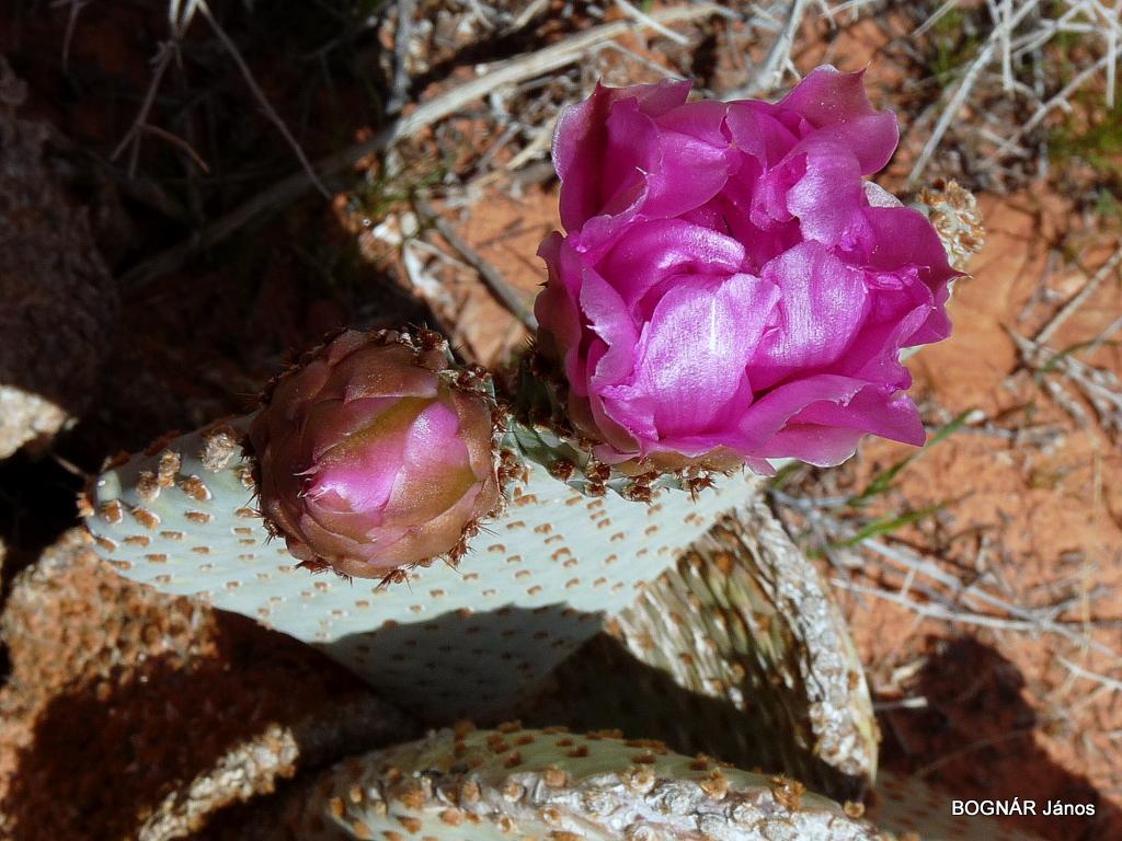 opuntia-basilaris-3