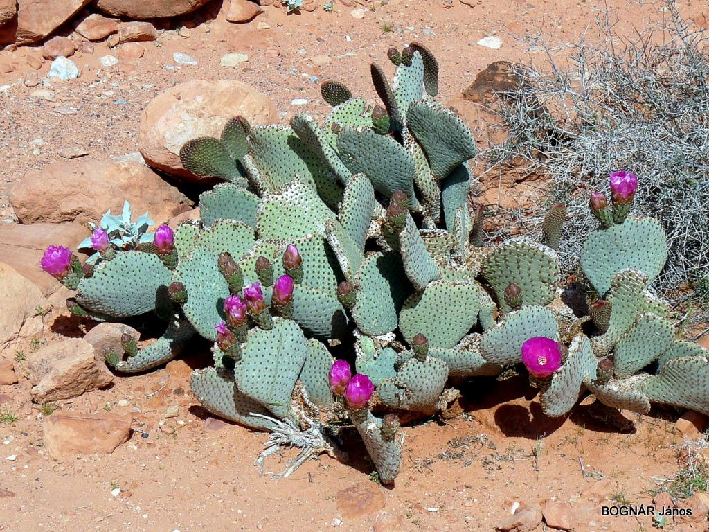 opuntia-basilaris