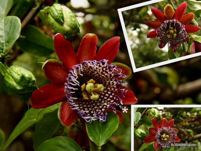 passiflora-2
