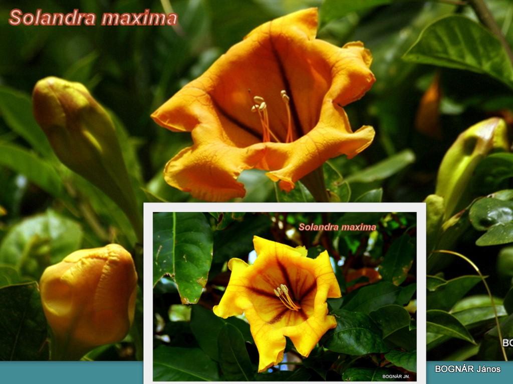 solandra-maxima