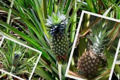 ananas-comosus