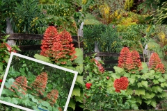 clerodendron-paniculatum-2