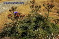 cynara-cardunculus