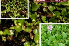 eichornia-crassipes