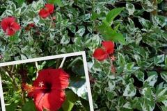 hibiscus-chinensis