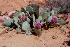opuntia-basilaris-2