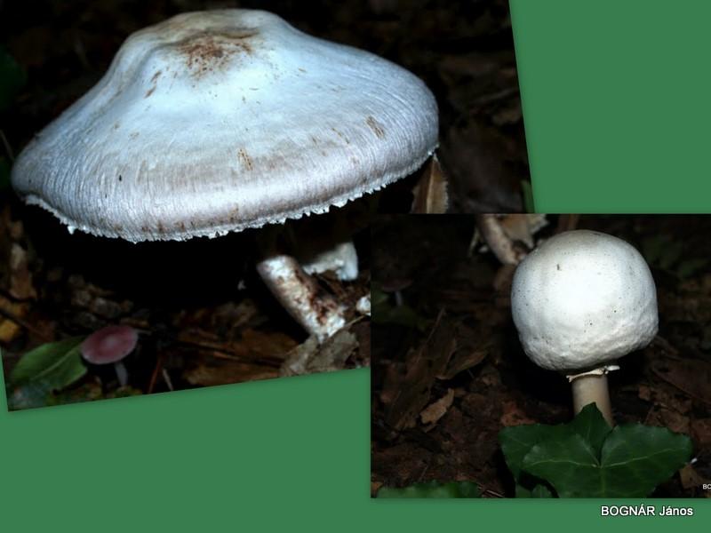 agaricus-macrocarpus-termetes-csiperke