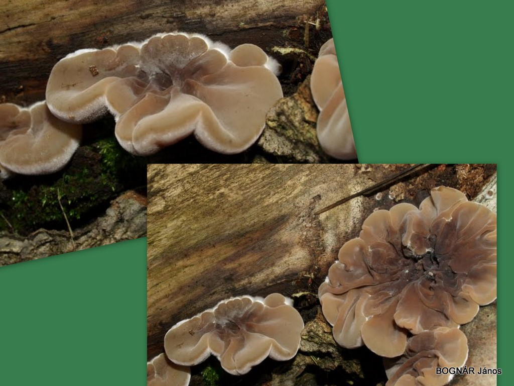 auricularia-mesenterica