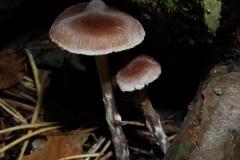 cortinarius-hemitrichus-pelyhes-pokh