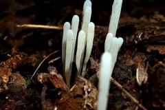 ramariopsis