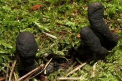 xylaria-polymorpha