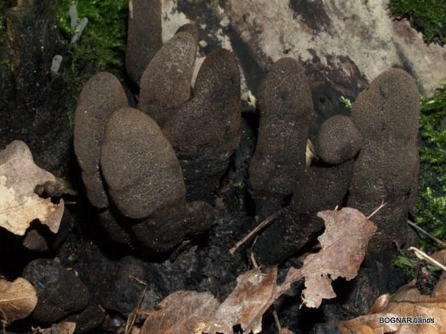 xylaria-polymorpha-2