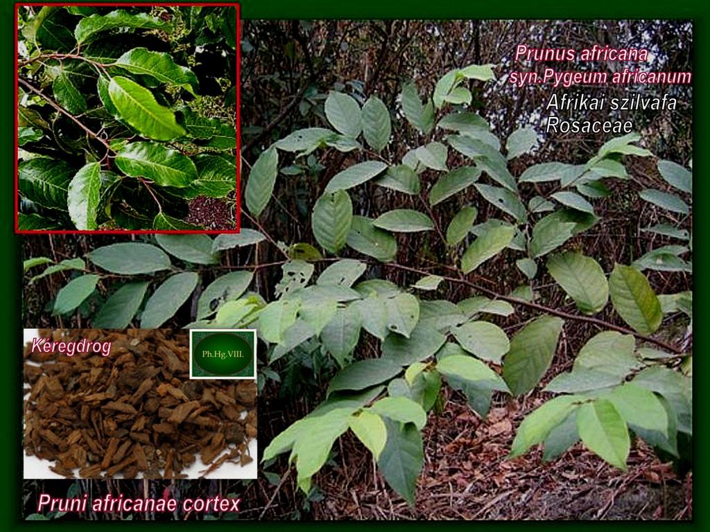 Afrikai-szilvafa