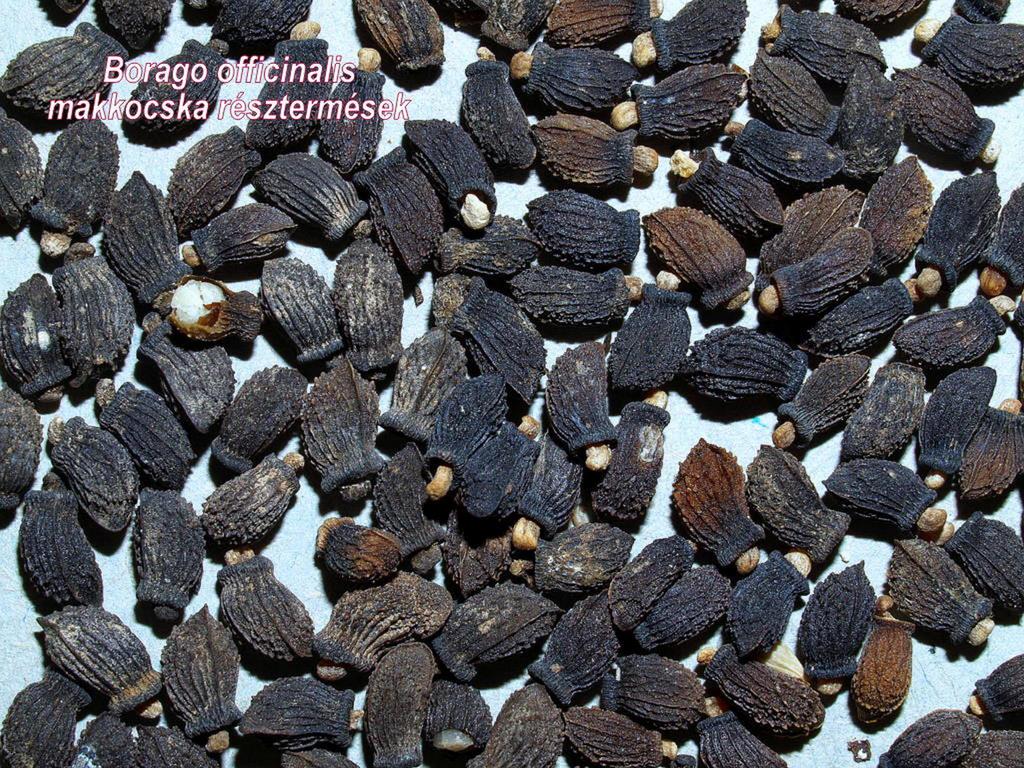 Keri borágó -termésdrog