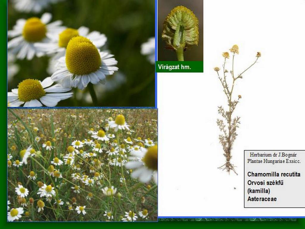Kamilla fészekvirágzat