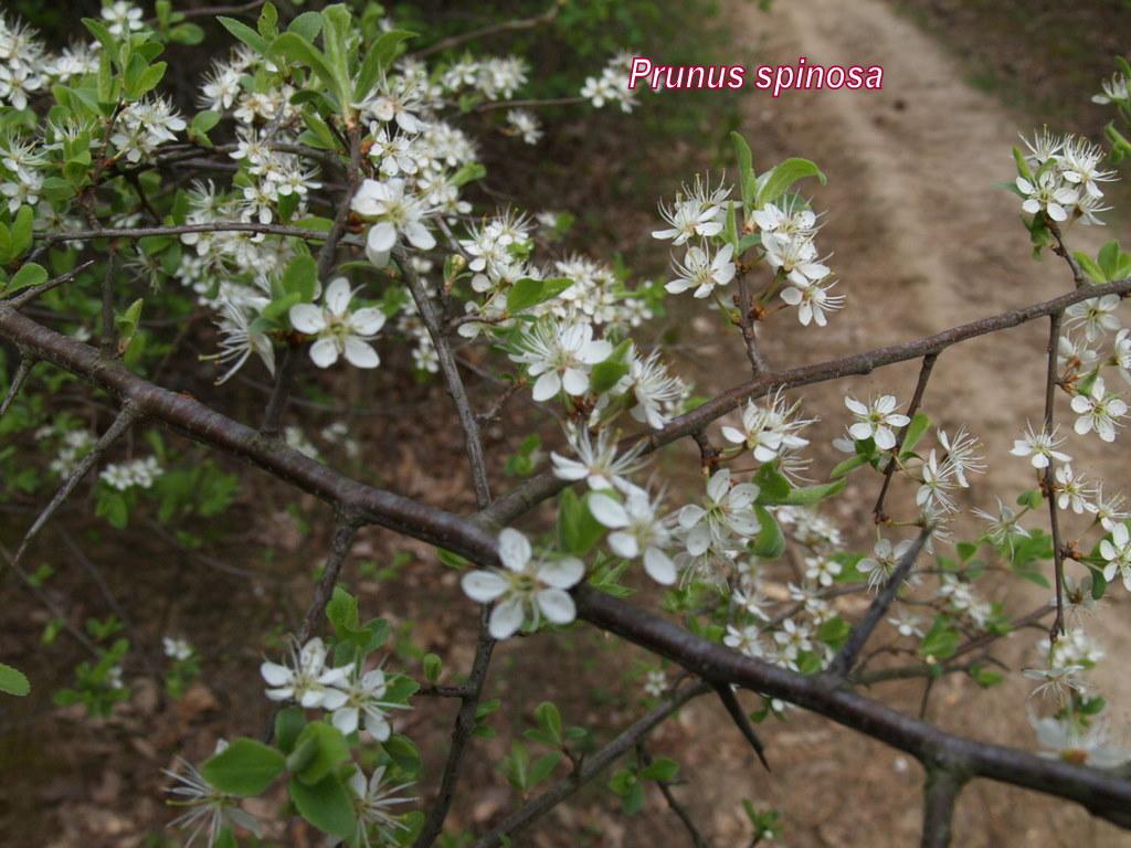 Kökény virág