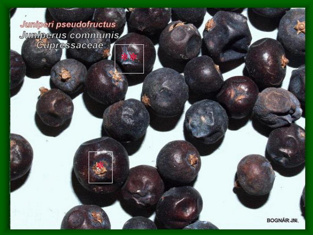 Közönséges boróka termésdrog/tobozbogyó/