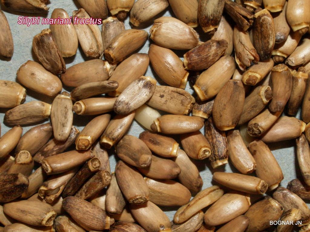 Máriatövis termés - drog