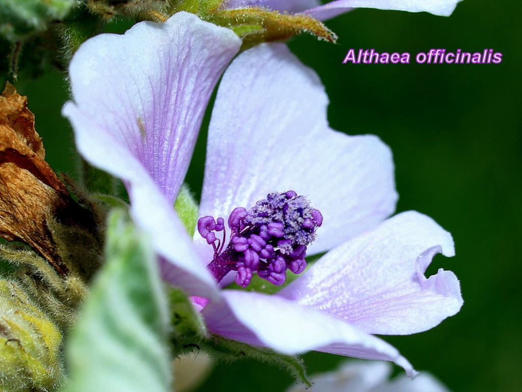 Orvosi ziliz - virág