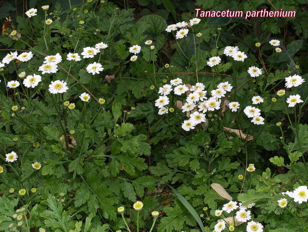 Őszi margitvirág2