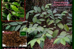 Afrikai szilvafa