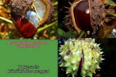 Vadgesztenye termés