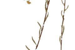 Achillea asplenifolia