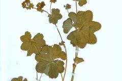 Alchemilla acutiloba