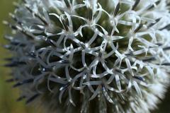 5-echinops-echinops