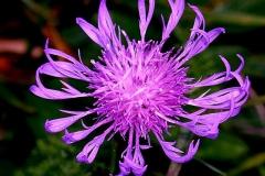 centaurea-sadleriana