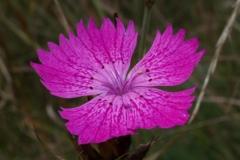 dianthus-danubialis