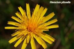hieracium-pilosella